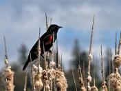Rithet's Bog: Red Winged Black Bird