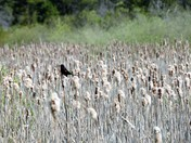 Rithet's Bog: Among the Bulrushes