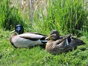 Rithet's Bog: Resting Mallard Ducks