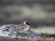 Lapland Longspur perching on a rock