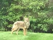 Coyote in Hudson