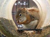 Red squirrel at the bird feeder on a rainy day #1