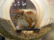 Red squirrel at my bird feeder on a rainy day#2