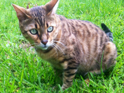 Kyle Furlows Bengal cat named cash