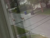 Deer on the West side in Manchester