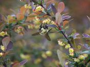 Bumble bee on flowering shrub #1