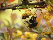 Bumble bee on flowering shrub #3