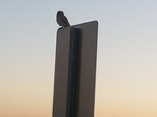 Burrowing Owl at Sunrise