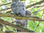 2 Great Horned Owlets