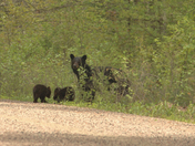 Black Bear and 3 cubs