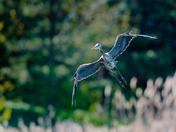 Blue Heron Coming