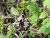 Moths Mating