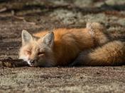 Foxy relaxing