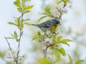 Northern Parula (Warbler)