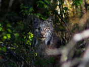 A Lynx in the Woods