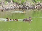Duck family out for a swim