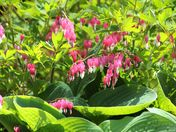 Bleeding hearts and large leafed hosta