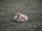 Portrait of a Gosling
