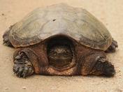 One Big Turtol
