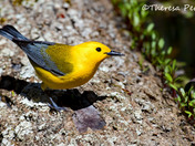 Prothonotary Warbler - Rondeau Provincial Park