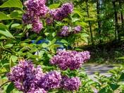 Lilacs.