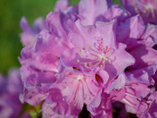 The dew on the Rhodos