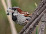 House Sparrow.....