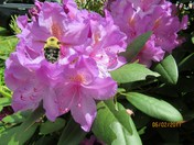 Bumble Bee collecting pollen on rhododendron.