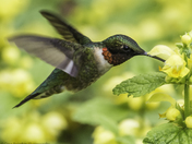 Ruby-Throated Hummingbird Portrait