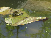Frog resident in my pond