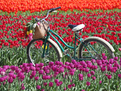 Tulips and Bike