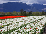 Tulips & Mountains