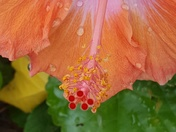 Hibiscus after the rain.