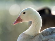 Leucistic Canada Goose