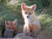 Fox Babies