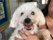 Donut - you CANNOT resist this minipoodle mix.  HW neg
