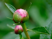 Peony ..time for some sun