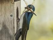 Tree Swallows (3842)