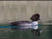 Barrow's Goldeneye, Female