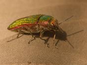 Metalic Jewel Beetle