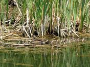 wood duck family at the local marsh