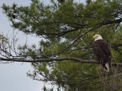 Eagles on Lake Arrowhead
