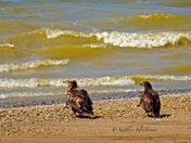 Eagles on the shoreline