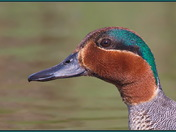 Portrait of a Green-winged Teal