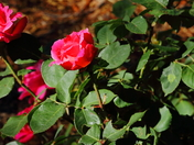 roses at the Harvey Cornell City Park NM
