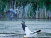 Blue heron chasing the pelican from its territory
