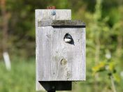 Swallow in birdhouse along the Humber River