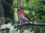 Roselin familier / House finch