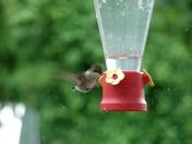 """Thirsty Little Hummingbird"""