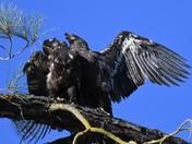 Juvinile Bald Eagles